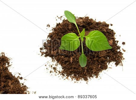 Pepper seedling on white background