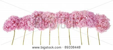 Pink Flowers Hydrangea (clipping Path)