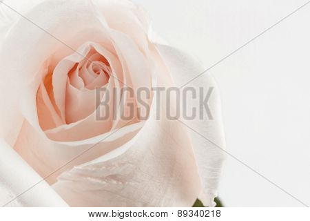Sweet Rose.