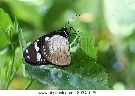 Crow Butterfly (Euploea sp.)