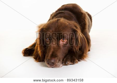 Brown Longhaired Pointer Dog
