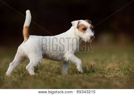 Purebred Jack Russell Terrier Dog