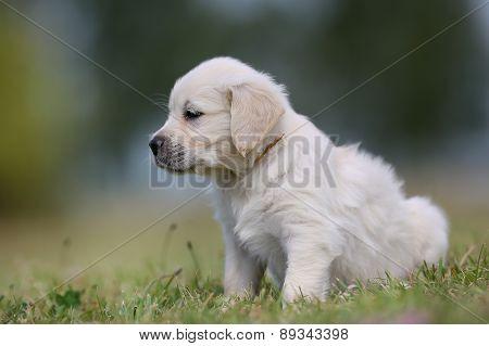 Golden Retriever Puppy Looking Away From Camera