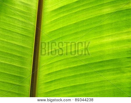 Closeup Of Banana Leaf Texture, Green And Fresh
