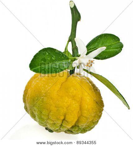 Citrus Pursha Sweet Lemon, one fruit  close up isolated on white background