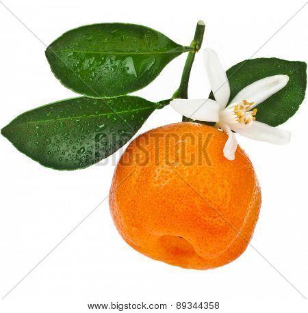 Citrus Calamondin, one fruit  close up isolated on white background