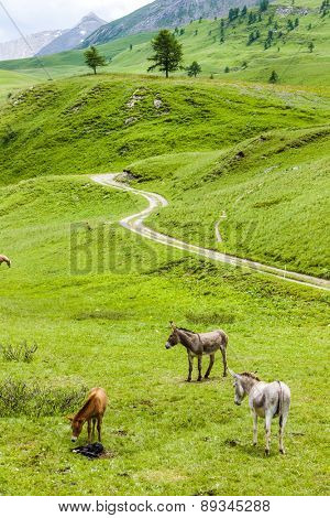 donkeys, landscape of Piedmont near French borders, Italy