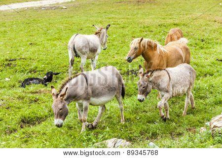 donkeys and horses, Piedmont, Italy
