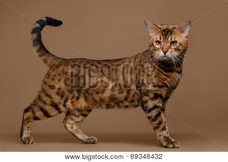 Beautiful Bengal Cat Stands on Brown background