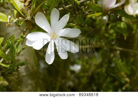 An image of a magnolia tree with a white blossom