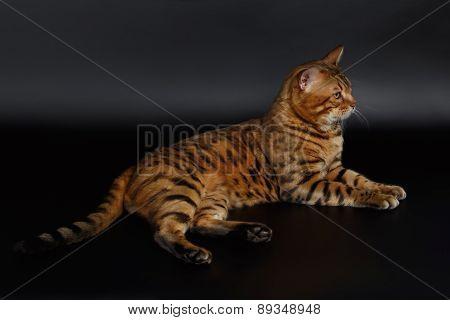 Bengal Cat Lies