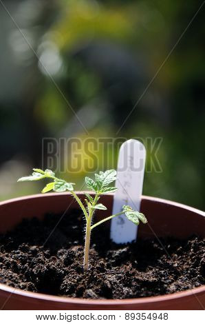 Tomato seedling with plant stick.
