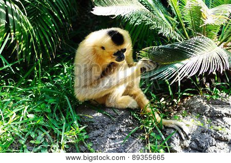 Golden cheek gibbon.