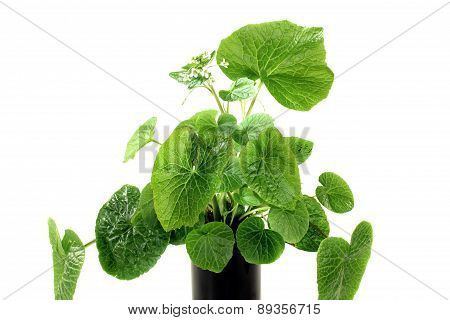 Wasabi Leaves With White Blossoms