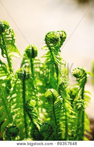 Many young ferns