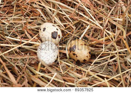 The Picture Quail Eggs