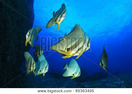 School of fish: Longfin Spadefish (Batfish) (Platax teira)