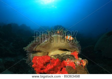 Clown Anemonefish (Nemo fish) on anemone
