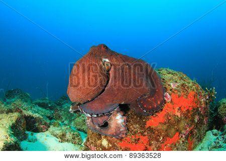Big Red Reef Octopus