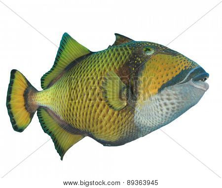 Tropical Fish isolated on white background: Titan Triggerfish