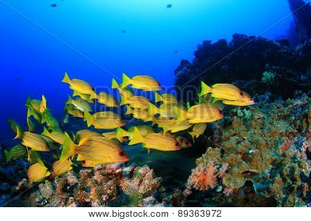 School yellow fish (Bluelined Snappers)