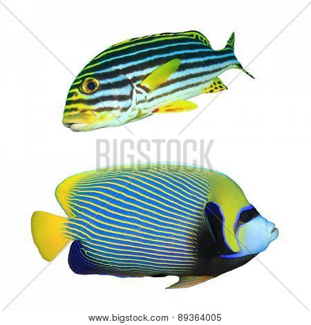 Tropical fish isolated on white: Oriental Sweetlips and Emperor Angelfish