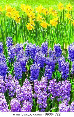 beautiful floral garden. Keukenhof park in Holland
