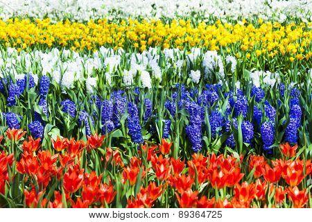 vivid floral carpet in Keukenhof park in Holland
