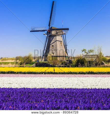 traditional Holland - windmills and blooming floral fields