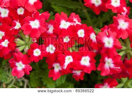 gardening, botany and flora concept - beautiful red flowers at summer garden