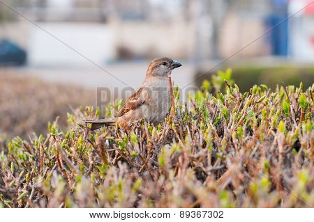 Eurasian Tree Sparrow sitting on a stick