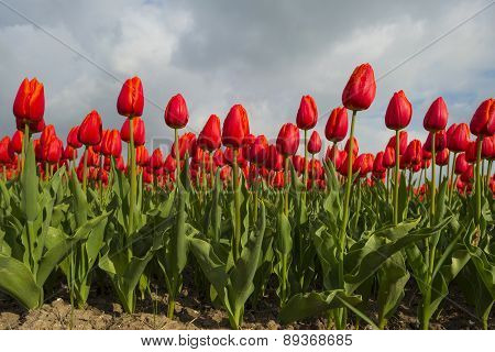 Tulips on a field in spring under a cloudy sky