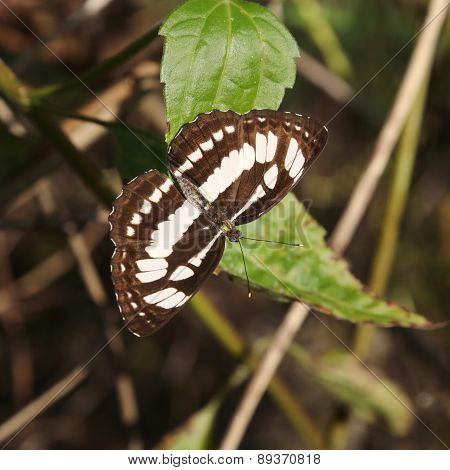 Black and white butterfly,