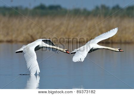 swans on the lake (cygnus olor)
