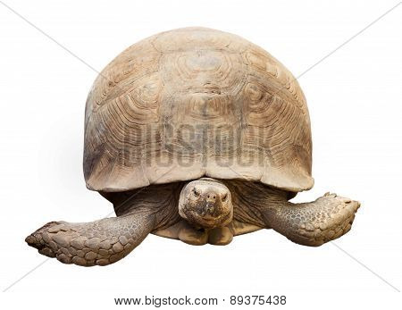 Tortoise isolated on white with clipping path