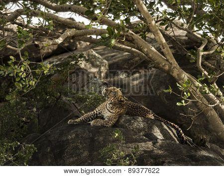 Leopard resting on rock, Serengeti, Tanzania, Africa
