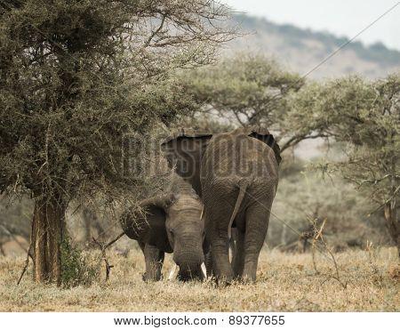 Young elephants playing, Serengeti, Tanzania, Africa