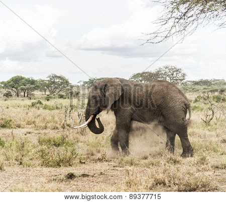 Elephant dust bathing, Serengeti, Tanzania, Africa