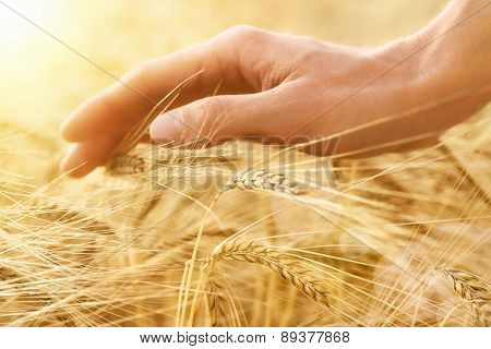 Hand Stroking Cereal Crop