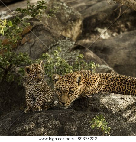 Leoprad and her cubs resting on rocks, Serengeti, Tanzania, Africa