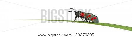 Six-spot burnet, Zygaena filipendulae, on a blade of grass in front of a white background