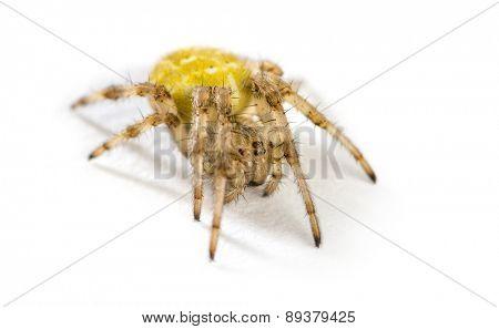 European garden spider, Araneus diadematus in front of a white background