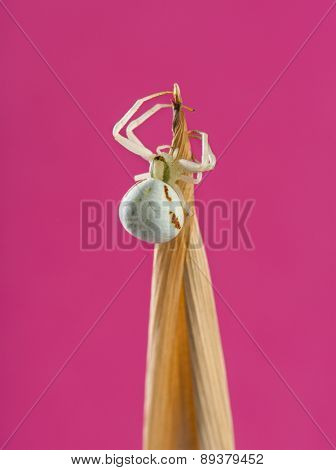 Golden Crab Spider, Misumena vatia, on a blade of grass in front of a pink background