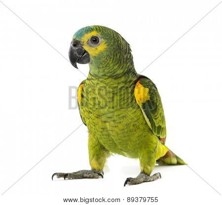 yellow-shouldered amazon, Amazona barbadensis, in front of a white background