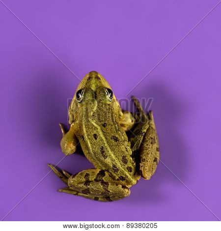 Common Water Frog in front of a purple background