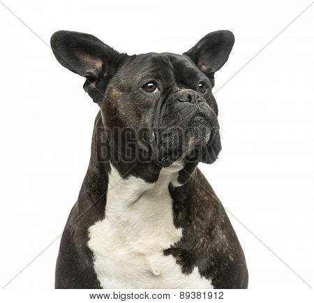 Crossbreed in front of a white background
