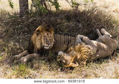 Two lions lying, Serengeti, Tanzania, Africa