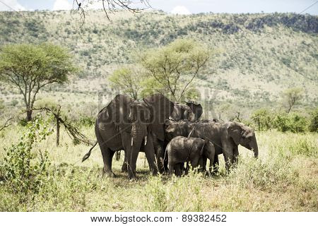 Herd of elephant, Serengeti, Tanzania, Africa