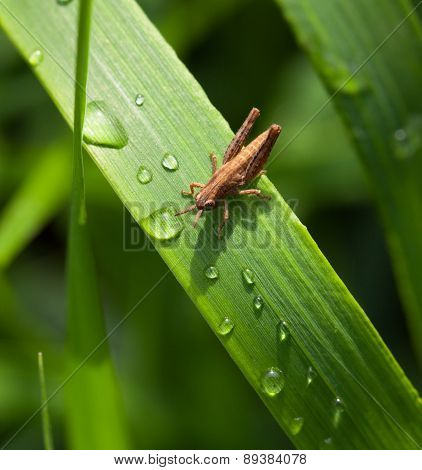 Small Grasshopper On Grass And Dew