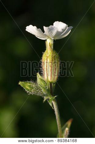 White Campion Flower